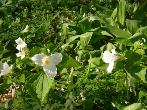 Trillium sprinkle woodside