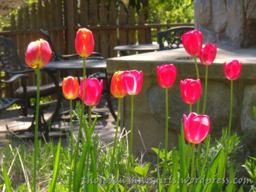 backyard tulips