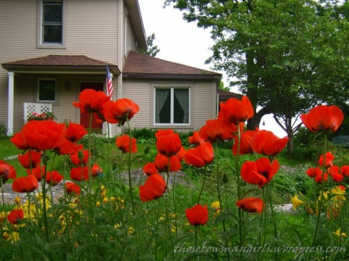 Carol's Poppies