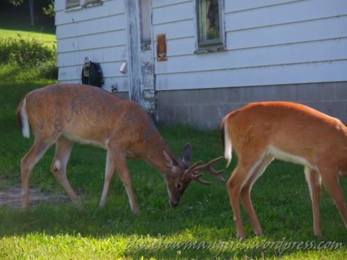 Deer downtown Empire