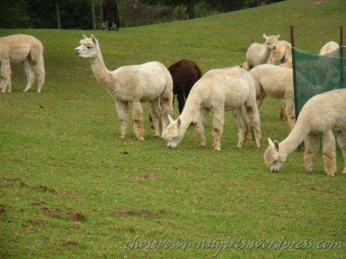 923 grazing llamas