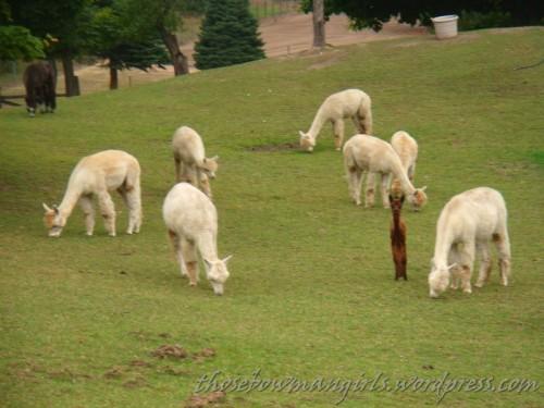 923 skinny llama